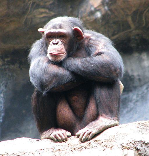 chimp behavior