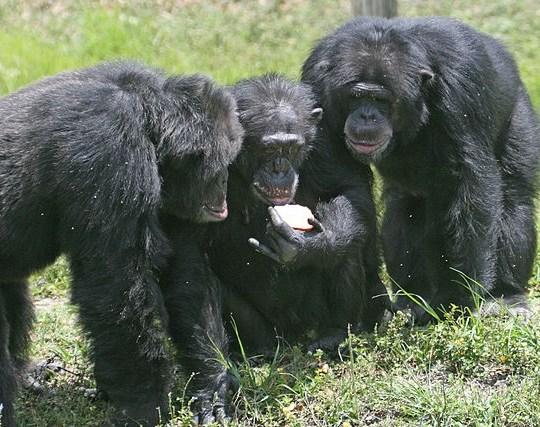 640px-Three_chimpanzees_with_apple