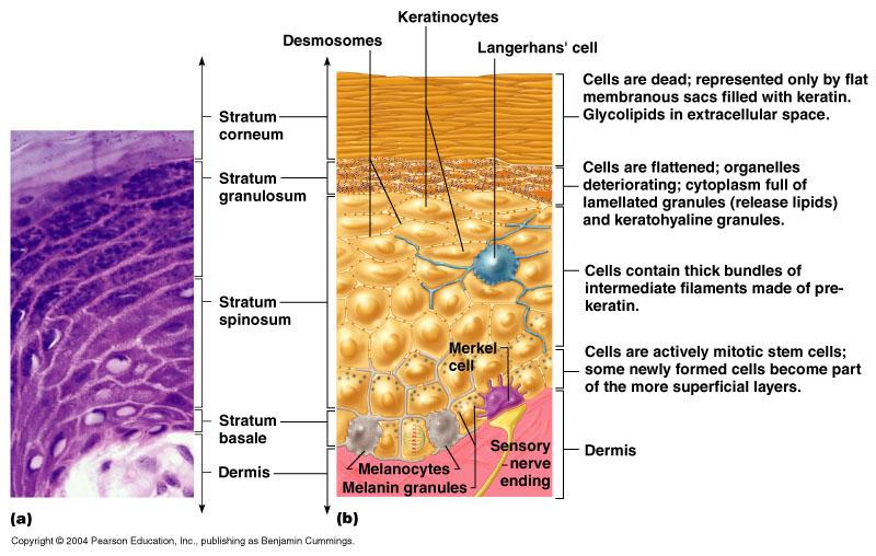 stratified columnar epithelium diagram thrust stage detailed mengenal kulit (anatomi dan fisiologi) | galaksi medika