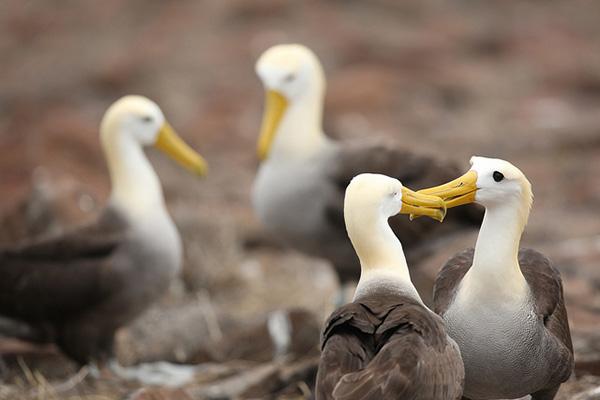 Albatross Galapagos Islands