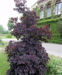Cotinus coggygria Royal Purple Perückenstrauch