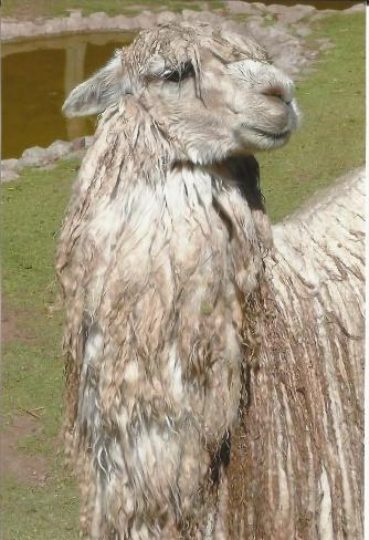 Rasta Llama
