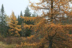 Autumn colored Tamarack in Northern Maine