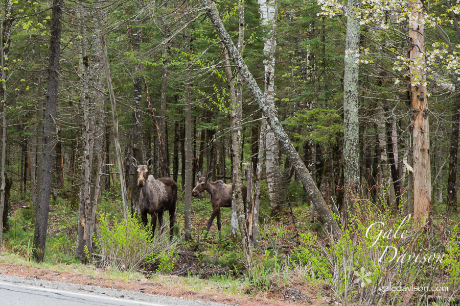 Mother and Calf coming out to road-0463