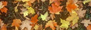 Banner aspect ration of image of orange and yellow maple leaves on lawn.