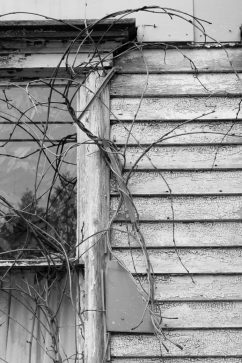 Bare leaved branches of wisteria vine growing on aged wood siding of house at corner of window.