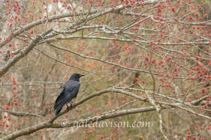 Edited version of Black Crow surrounded by red Maple buds.