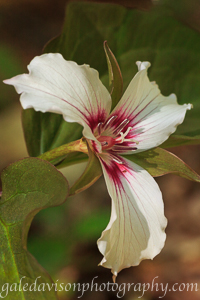 Painted Trillium Flower photographed in the Kennebec Highlands in Maine.