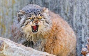 pallas kedisi nerde yaşar