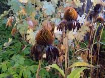 Cone flower, dressed in black. (Echinacea / Rudbeckia)