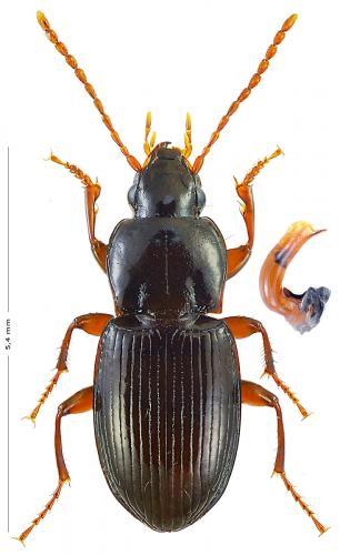 On M'a Vu Dans Le Vercors : vercors, Pterostichus, (Haptoderus), Pumilio], Vercors..., Monde, Insectes