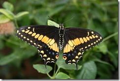 Papillon Roberto Gauvin