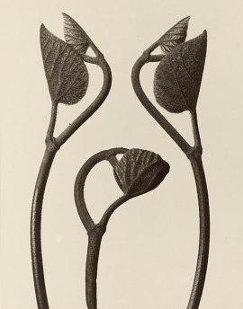 Karl Blossfeldt: Aristolochia stems and leaves, (Photographs by Karl Blossfeldt in the J. Paul Getty Museum) source: wikimedia commons