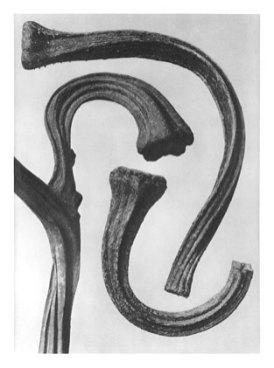 Kart Blossfeldt: Cucurbita, Guard, squash, stems (published in Urformen der Kunst, 1928) source: wikimedia commons