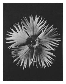 Karl Blossfeldt: Dianthus plumarius, Grass pink, (published in Wundergarten der Natur, 1932) source: wikimedia commons