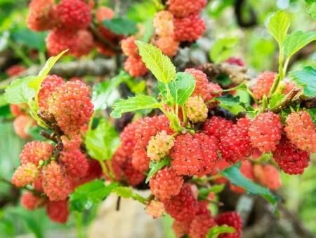עצי תות