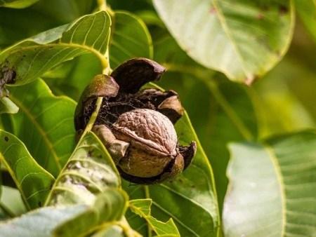 עצי אגוז