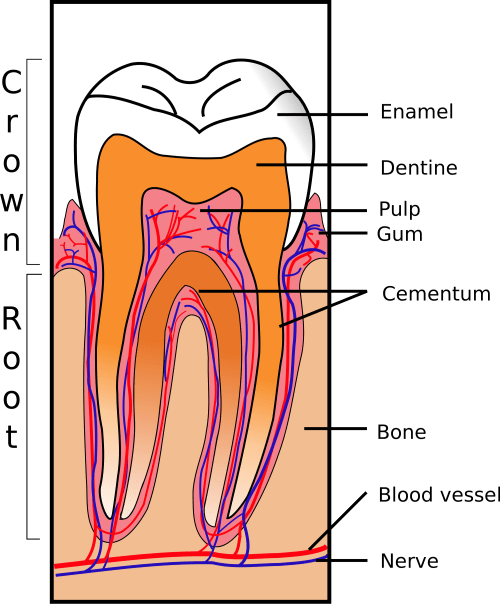 small resolution of the enamel of our teeth is the hardest substance in our bodies it withstands decades of biting chewing and crunching but it can chip break or erode due
