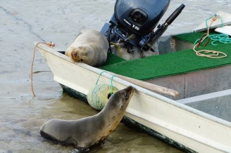 Seals in boat 20130704