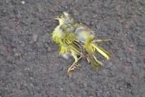 dead yellow bird 130711