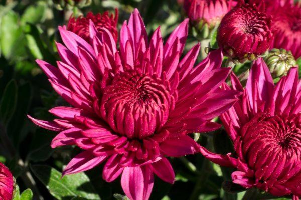 flower chrizantema 3