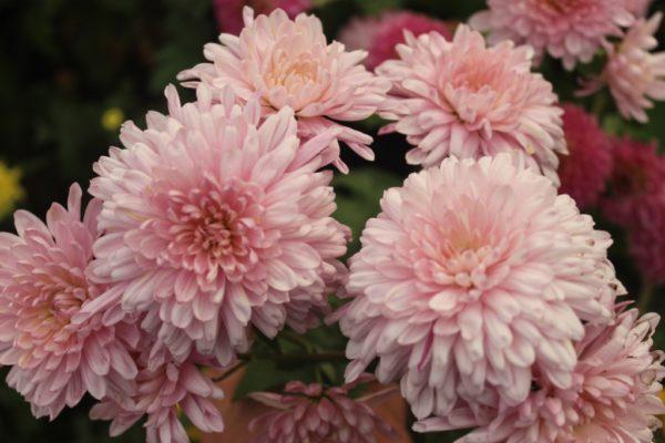 chrizantema 4