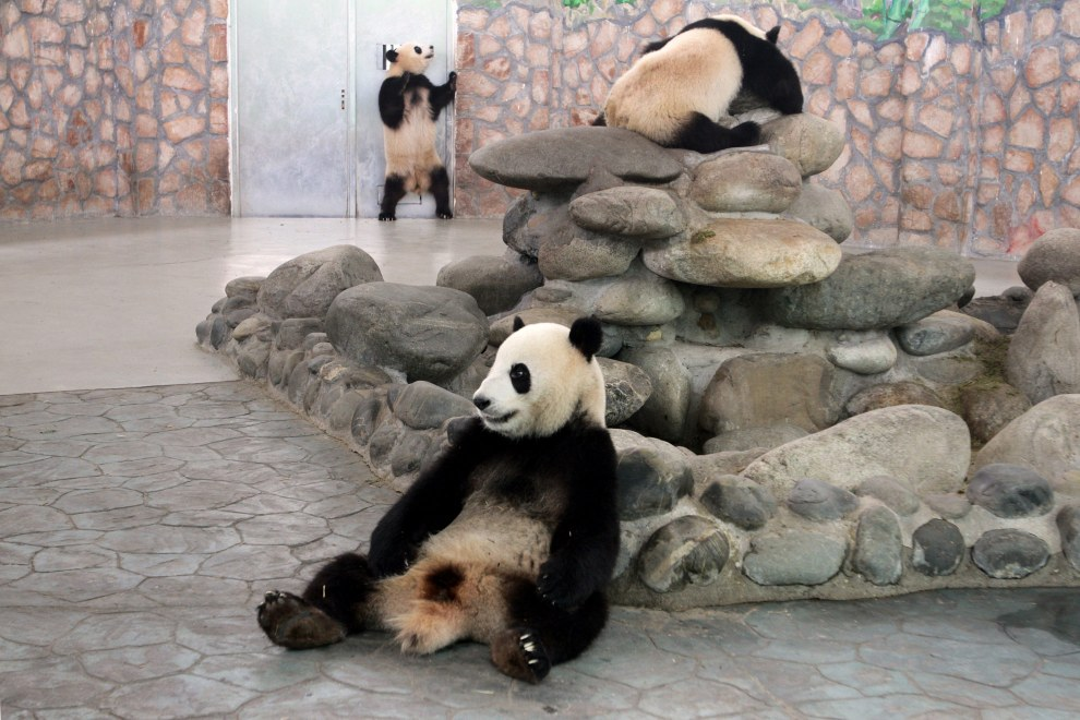 Giant Pandas in an enclosure at the Chengdu Panda Breeding Center, in south-west China.