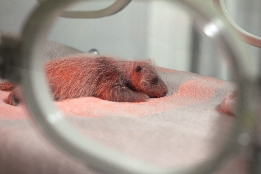 A baby Giant Panda in an incubator at the Chengdu Panda Breeding Center, in south-west China.