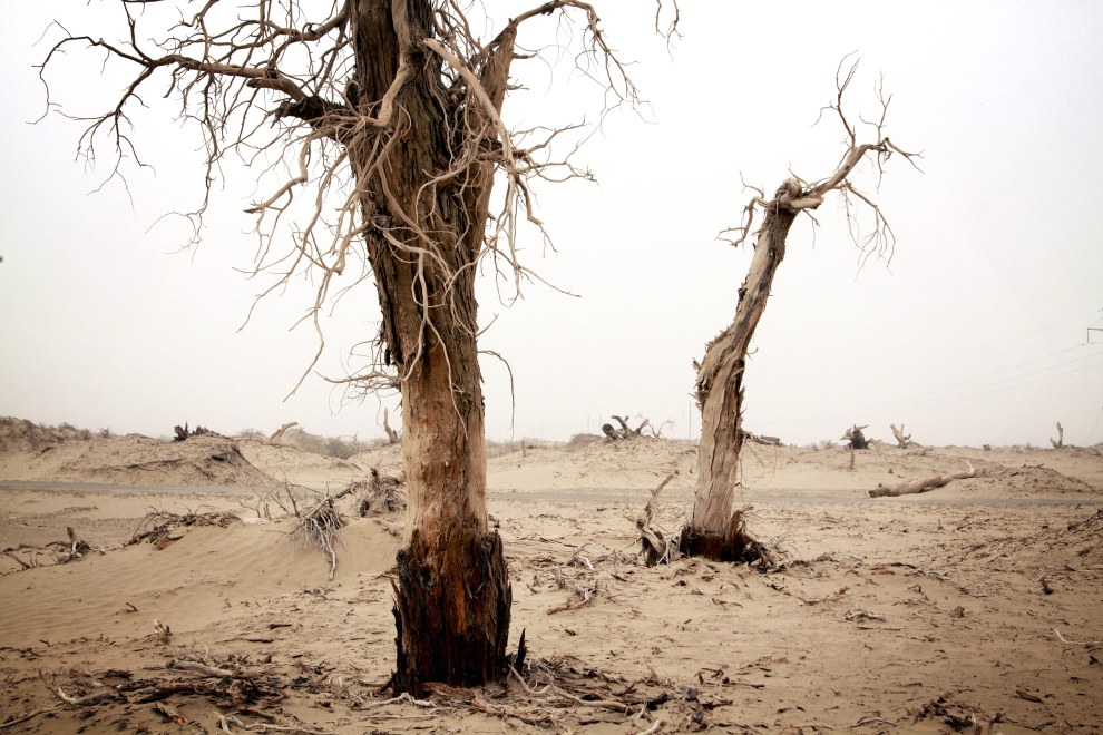 Dead poplar trees stand on the edge of the Taklamakan desert in China's western Xinjiang Province.