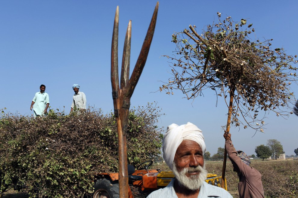 Farmers harvesting cotton in the Malwa region of Punjab. Increased use of pesticides and insecticides has helped increase crop yields however it has also led to sever health issues in local communities.