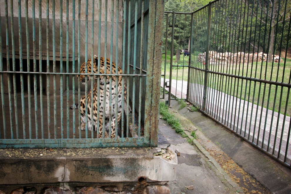 A leopard in an enclosure in Wuhan zoo.