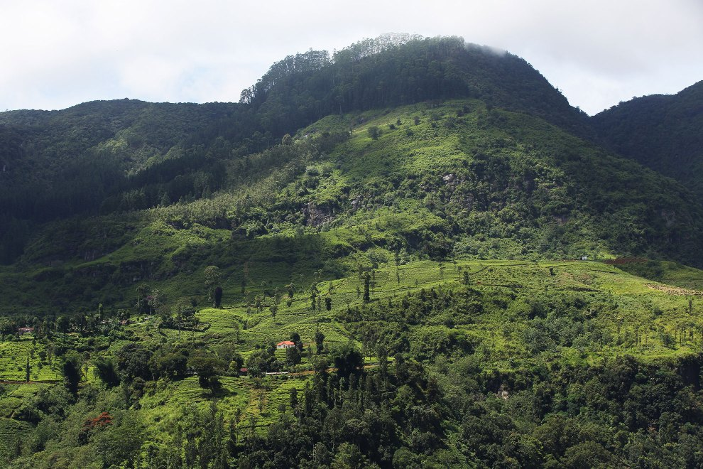 During British colonial rule, vast swathes of mountainous forests were cleared to make way for tea growing plantations. This decrease in habitat contributed significantly to wild elephant populations being pushed into ever decreasing habitats.