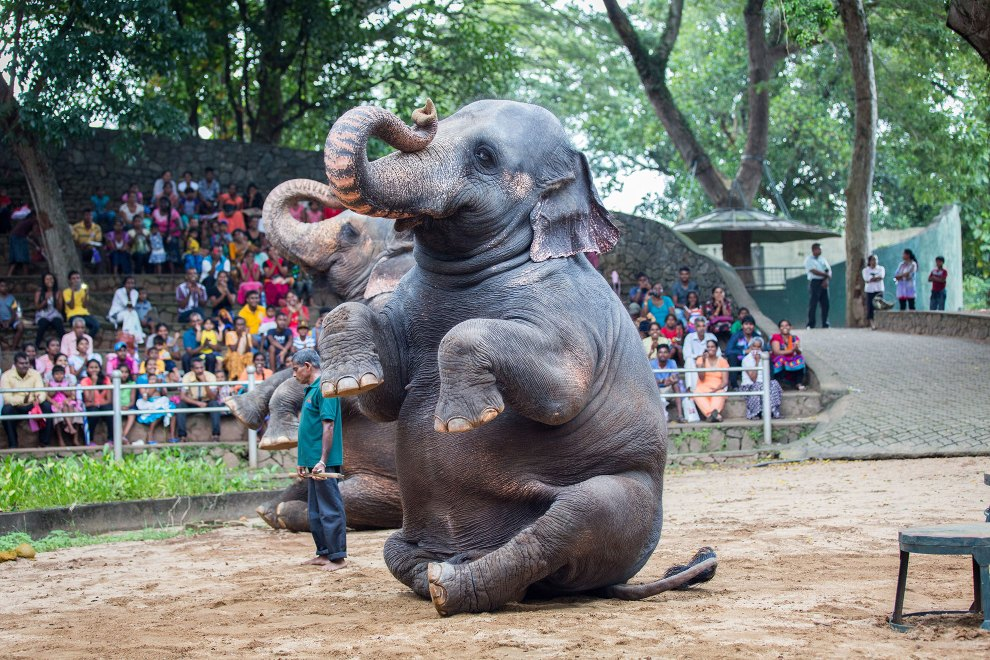 Elephants are made to perform tricks during a show at Colombo Zoo, in Sri Lanka. There is a long history of elephants being a part of cultural traditions in the country, however one modern manifestation is in the performances that are laid on for hundred of visitors in the capital's zoo. A small herd is cajoled and clapped on by the enthusiastic crowds to perform various tricks for their entertainment.