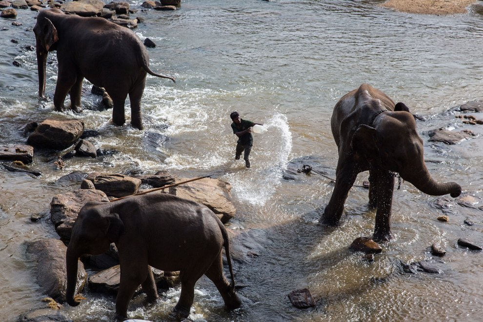 A mahout cleans elephants at the Pinnawala Elephant Orphanage in Sri Lanka.