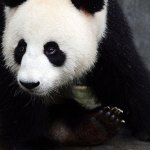 Giant Panda – National Geographic Creative Collection