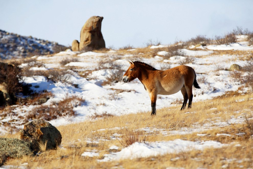 A takhi stands on the frosted grasslands of the Hustai National Park.