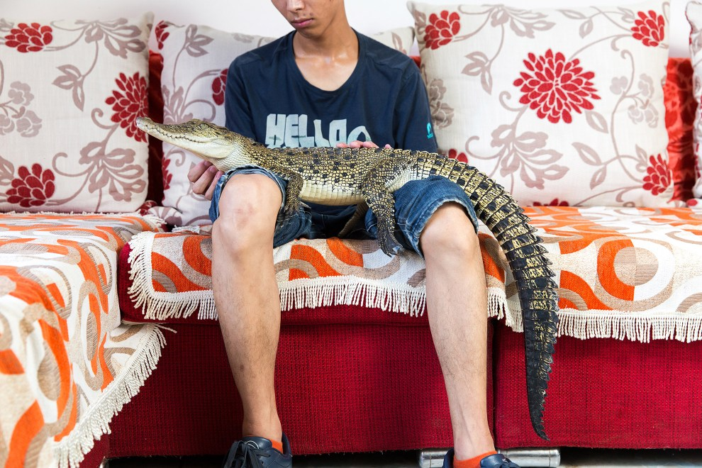 "Shao Jian Feng, 26, holds a Saltwater Crocodile (Crocodylus porosus) in his home on the outskirts of Beijing. This juvenile is only two and half years old, but when fully grown can reach up to six metres, making it the largest reptile in the world. It's just one of five crocodilians he owns, along with two other large snakes. ""There are twenty three crocodilian species in the world. We hope to collect all of them"", he boasts. A Saltwater Crocodile can retail for up to 9000RMB (US$1500). In the wild, they can be found mainly in South East Asia and Northern Australia."