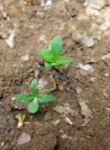Baby cannabis plant