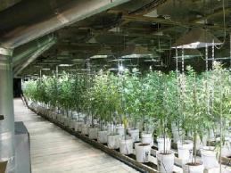 Marijuana grow laws in Minnesota