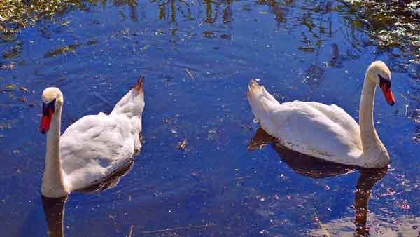 restraining-order-swans-600