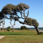Driven by ocean winds, these evergreens in Cape Lookout National Seashore point landward