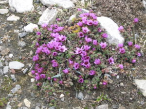 Flowers Svalbard