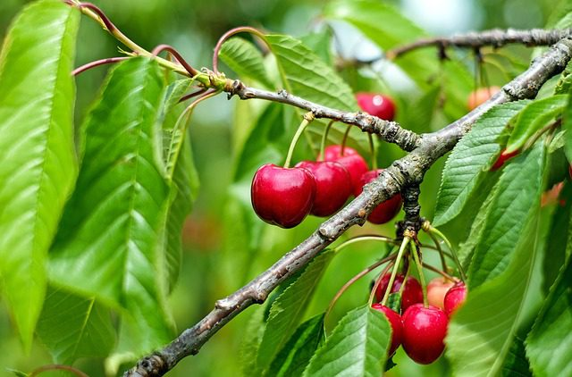 cherry on a green tree