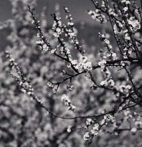 Apricot Tree Blossoms, Martiniana Po, Cuneo, Italy. 2019