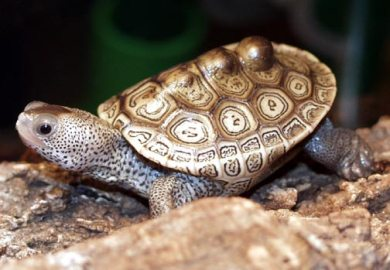 Baby Diamondback Terrapins For Sale