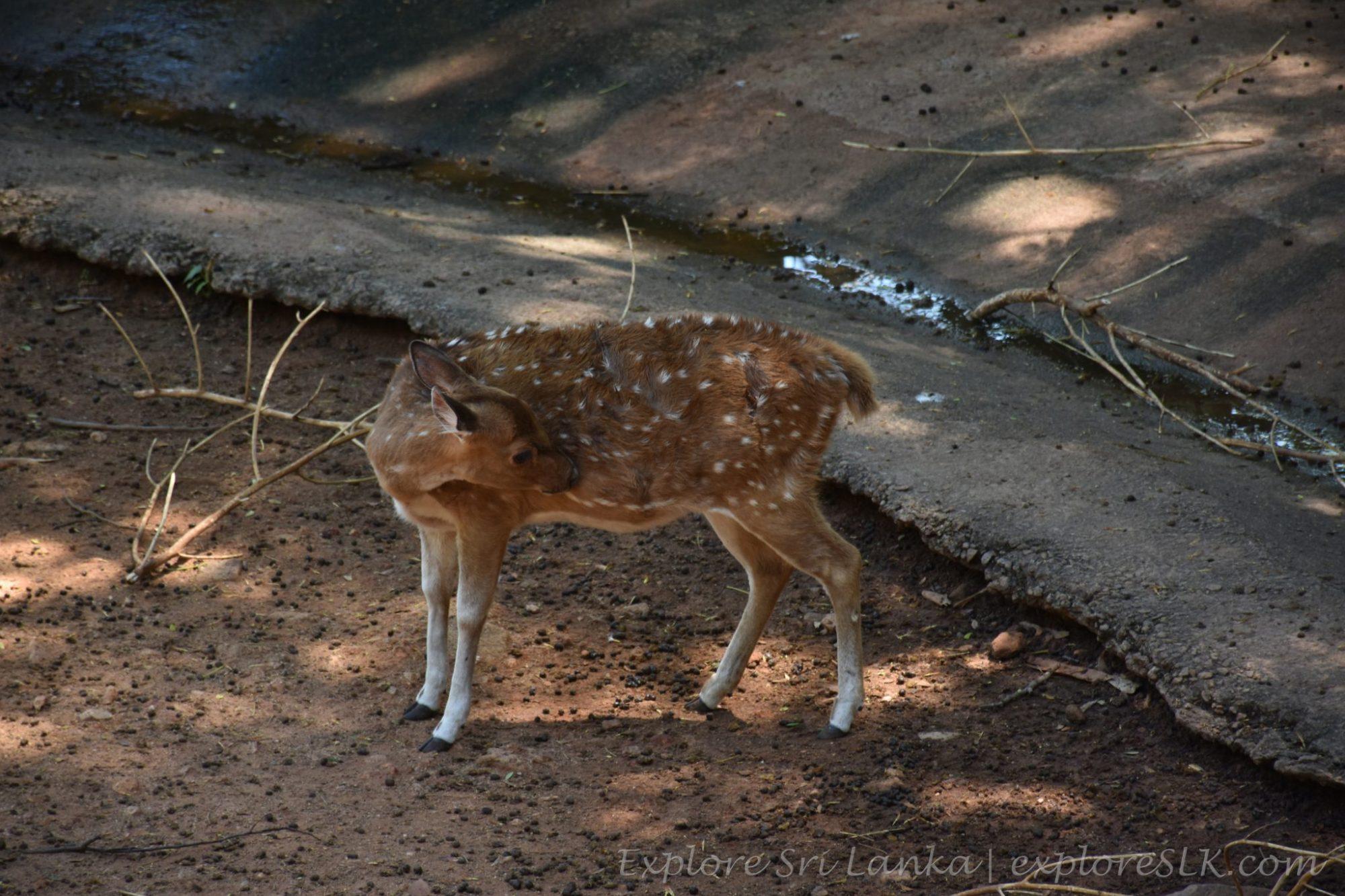 A Deer cub