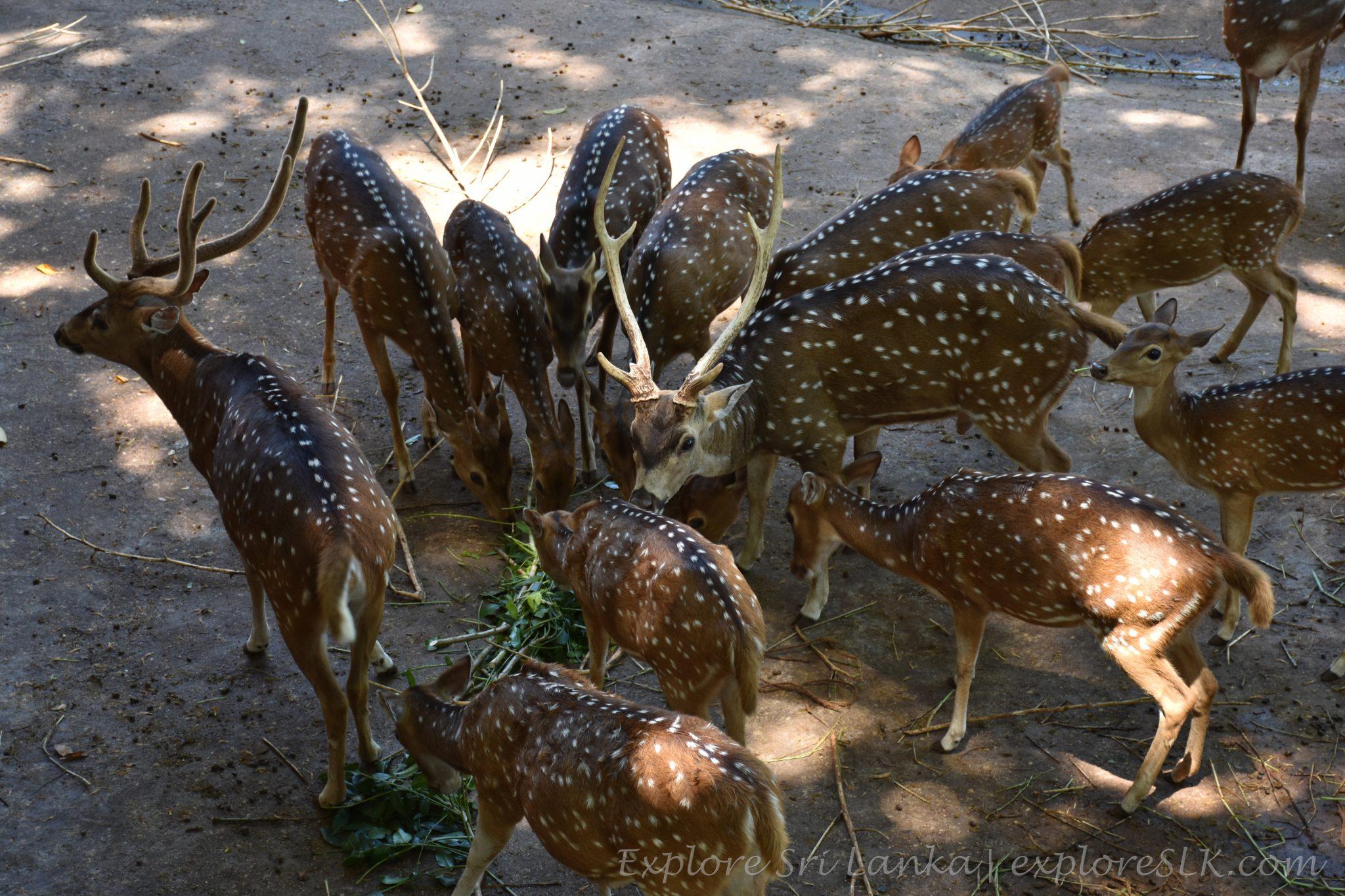Deers having lunch at Dehiwala Zoo