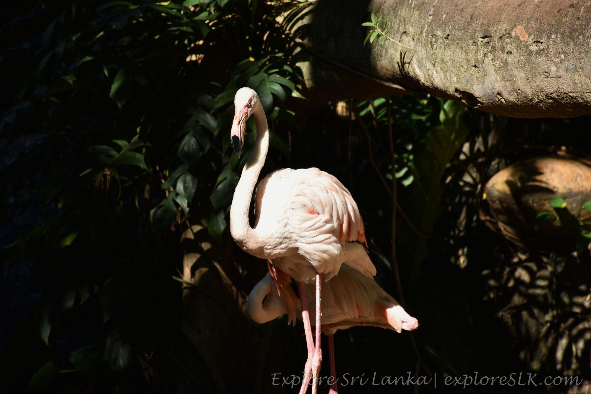 Large flamingos