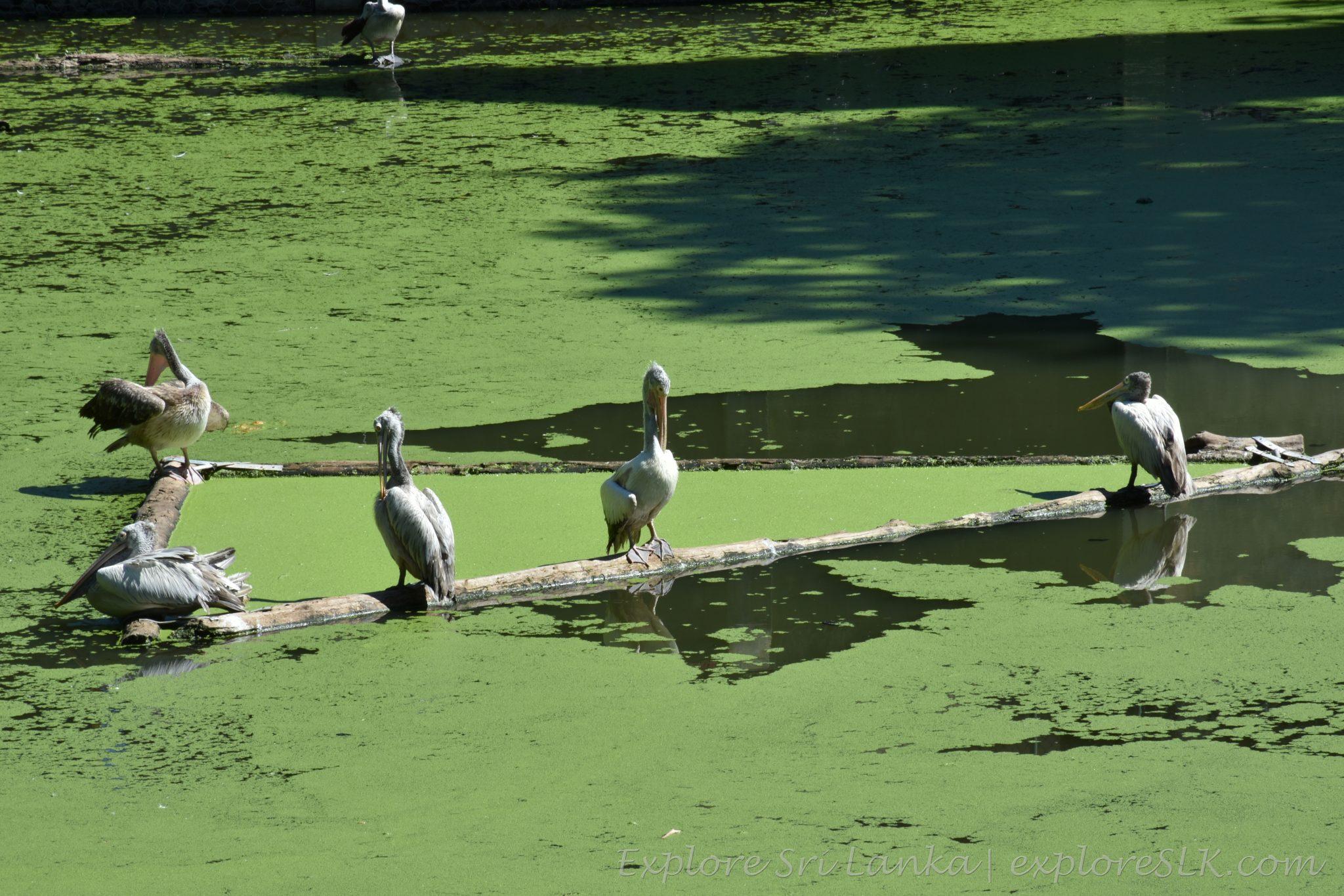 Pond of Pelicans at Dehiwala Zoo