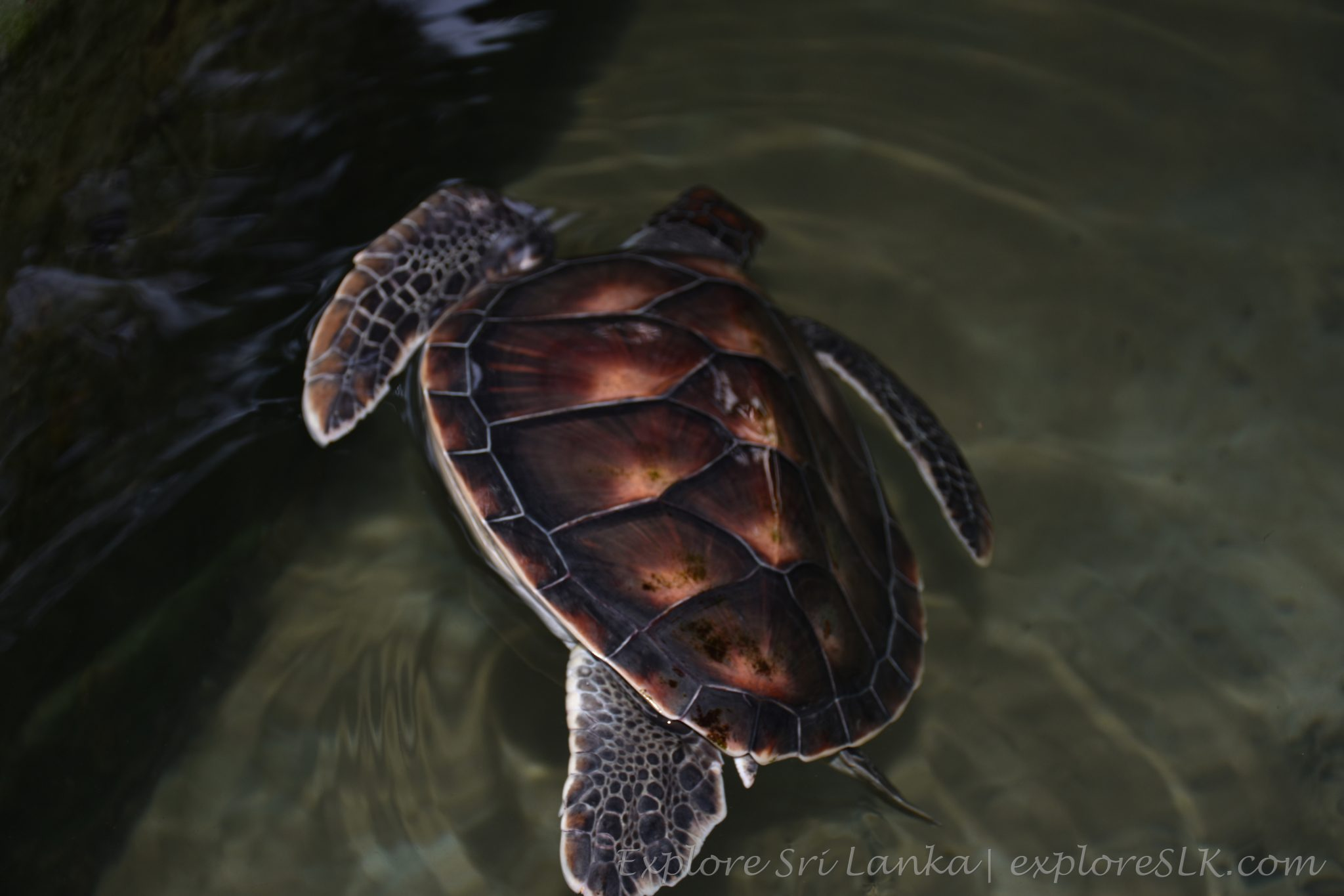 partially paralyzed sea turtle